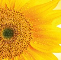sun_flower_oil_organic