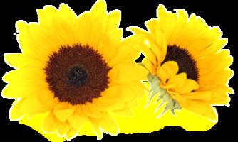 Sonnenblume-Frei